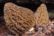 Wild Mushrooms / morels, chanterelles, shrooming, mushroom hunting / by Mail Tribune
