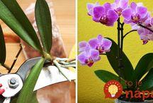 rozmnožovanie orchidei.