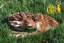 Oak Creek Whitetail Ranch 2015 Fawns / The fawns of the 2015 season. #fawns #whitetail #deer #piebald #bucks