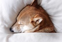 spiaci pes
