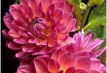 Flowers Dahlia