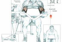 Muscle anatomy - Biceps