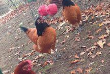 Unser Hühnerhof. / Das Label Heidekönigin kommt aus einem kleinen Dorf in der Lüneburger Heide. Rund um und in den Firmenräumen leben spannende Tiere.