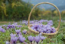 Safran / Quelques photos des crocus sativus safran flower