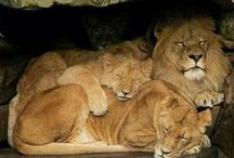 Lions, Tigers, Bears, and Pacyderms Oh My