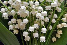 Bouquet #3 - Muguet / En mai, la fleur pas excellence est le muguet. Découvrez où pousse cette petite cloche blanche de saison, locale et made in france.