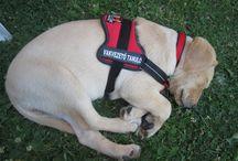 """Fahéj a vakvezető tanuló kölyökkutya (""""Cinnamon"""" the guide dog puppy) / Fahéj a vakvezető tanuló kölyökkutya  (""""Cinnamon"""" the guide dog puppy)"""