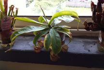 Le mie piante insettivore (carnivore)