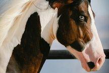 cavalos