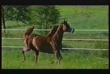 Purosangue Arabi / Il cavallo puro sangue arabo è il prodotto di secoli di selezione ed uso in condizioni climatiche tanto difficili da consentire la sopravvivenza solo ai più resistenti e coraggiosi. http://www.fieradisantalessandro.it/show-e-c-a-h-o/