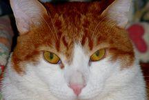 Cat ...  =^.^=  MERLINO / gattone bianco e rosso