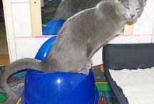 Cat - cool! / Russian blue cat