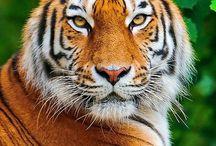 ♥Tigers • Tigres♥