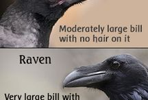 Crow and Raven