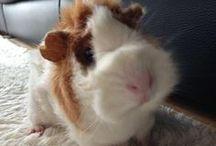 guineas pig