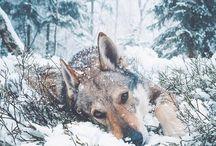 Вeautiful wolves