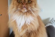 My lovely Persian cat
