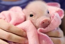 Pigs / So cute
