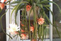 Kaktus cicekleri