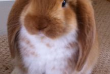 French Lop