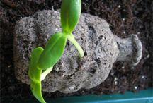 Growing Seedboms