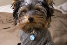 I ♡ Yorkies! / Absolutely adorable Yorkies! ♡ / by Dawn Brown