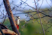 Woodpecker / キツツキ