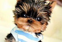 york puppy