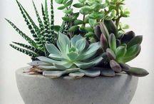 Succulents in pots & gardens