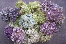 Hydrangeas...another love / by Kim Sewell
