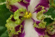 African violets flw