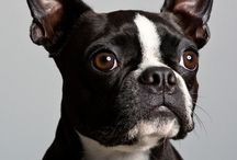 I<3 Bostons!! / Boston terriere and others cute dogs :-)