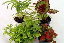 Fairy Garden Plants / The perfect mini plants for fairy gardens