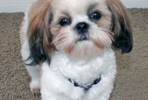 Shih Tzu Friendzy / www.ShihTzuFriendzy.com is a community of dog lovers! Join us to share photos, ask questions, or just enjoy daily pictures!
