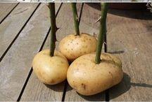 patatese gül kalem dikimi