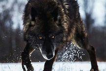 lupo per sempre