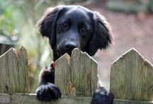 Flat coated retriever / Honden