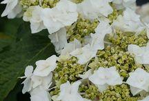 Gardening - to plant - Hydrangeas