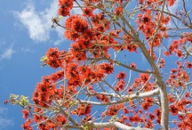 Coral tree / by georgina lemee