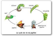 62. Cykl życia motyla