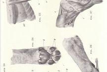 lion anatomy