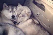 Cachorrineos