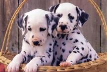 love dalmatian
