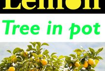 How to grow Lemons in Pots