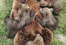 Boz ayılar