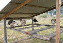 Poultry (everything but Muscovy Ducks)