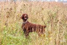 Ирландские сеттеры / Мои любимые собаки