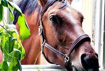 (horse's)