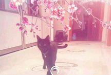 bombay cinsi kediler