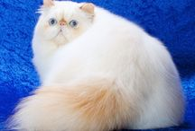 PERSIAN / by Cat Fanciers Association